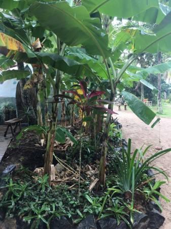 Les bananiers, filtre naturel de l'eau ménagère